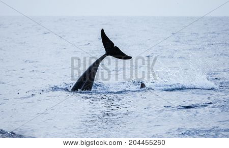 Tail Of Common Dolphin. Atlantic Ocean