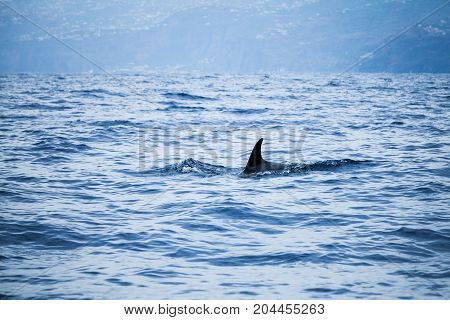 Fin Of Сommon Dolphin Swimming In Ocean