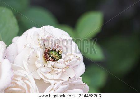 Harmful Bug On Rose On Garden