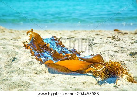 on the white sand by the beautiful blue sea lies bright seaweed. Deserted beach and beautiful seaweeds