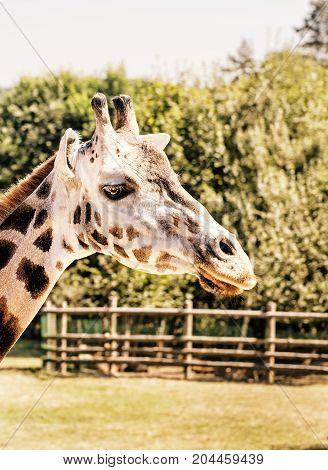 Rothschild's giraffe - Giraffa camelopardalis rothschildi in captivity. Animal scene. Yellow photo filter. poster