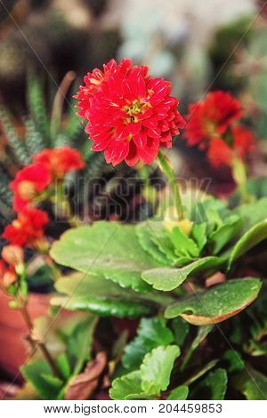 Detail photo of red dahlia flower. Natural scene. Herbaceous perennial plant. Photo filter.