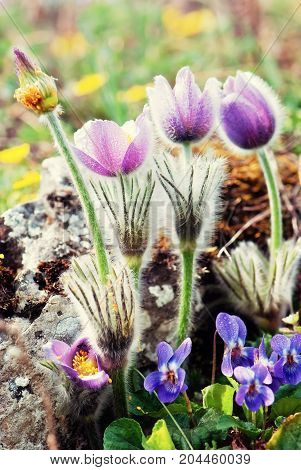 Pulsatilla slavica and viola odorata on the spring meadow. Seasonal natural scene.