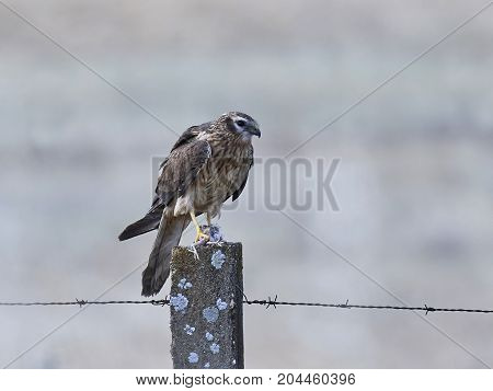 Montagus harrier sitting on a pole with food in its claws