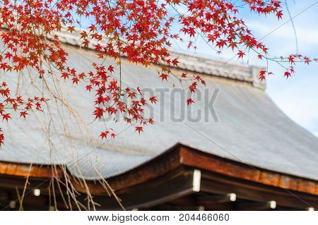 Red maple leaves over the roof during autumm in Japan