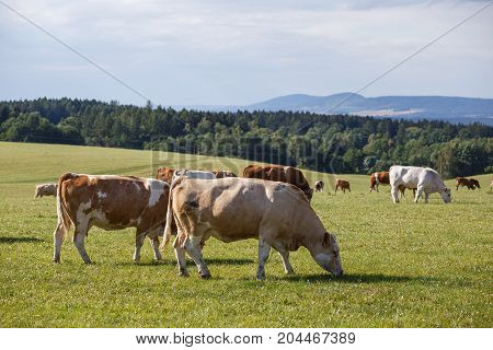 Herd Of Cows And Calves Grazing On A Green Meadow. Farm Animals