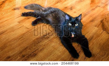 Cute. cat looking for something around this room. it's so cute. And it's yellow eye with fur. it's a black color look clean .