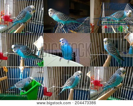 A few camera angles of a homely blue wavy parrot in a cage