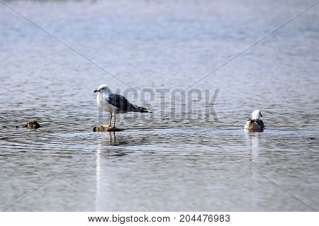 Seagull / Seagulls on the water .