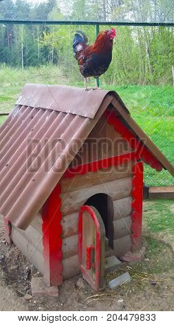 Rooster stands on the roof of the hut on the farm in the fresh air