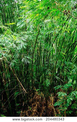 Spring Tall Trees Bamboo Woods. chinese bamboo in Tropical Forest Summer Nature. Nobody. Environment Concept