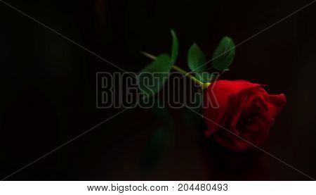 red rose on a black background. love. valentines day