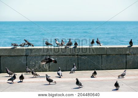 A flock of pigeons on the seafront of Yalta