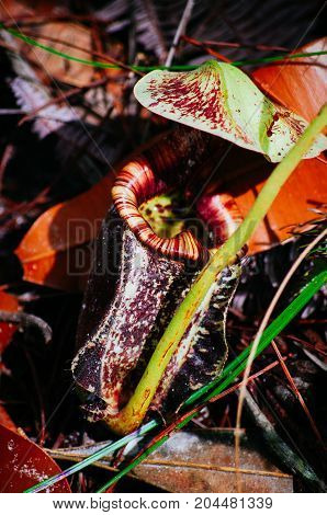Carnivorous pitcher plant. Nepenthes albomarginata in the rain forest at Bako National Park. Sarawak. Borneo. Malaysia