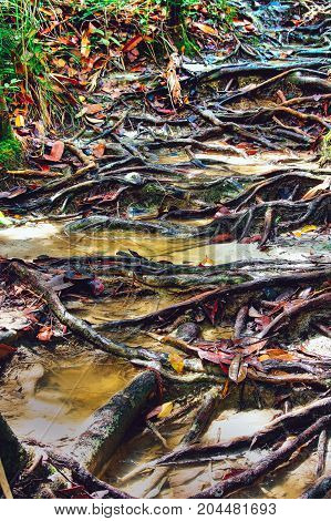 Jungle trails after rain revealing labyrint of tree roots in tropical rainforest of Sabbah Borneo Malaysia