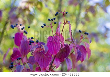 Photographs of Elderberry fruits in the wild on a sunny autumn day