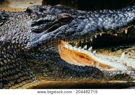 Nile crocodile Crocodylus niloticus in the water close-up detail of the crocodile head with open mouth and eyes. Crocodile head close up in nature of Borneo