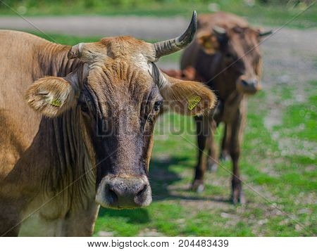 Organic farming livestock outside to access natural pasture during grazing season