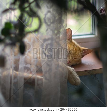 A red farm cat sleeping on the window sill resting after the night prey