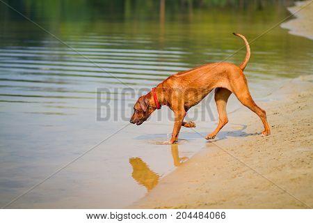 Rhodesian ridgeback walking on the shore of a pond in summer park.