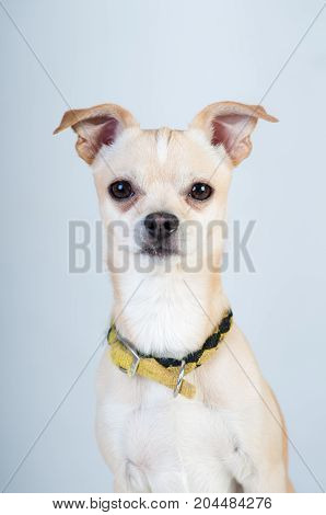 Little white dog on white background at studio
