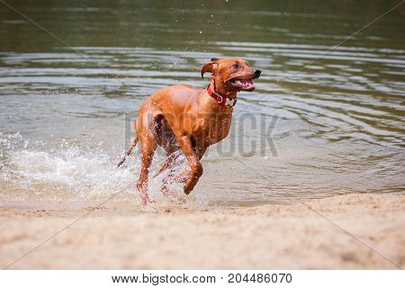 Rhodesian ridgeback jumping out of the water.