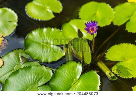 A Purple Lotus Flower And Lily Pads In Chiang Mai, Thailand.