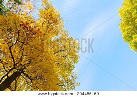 Fresh fall yellow golden tree lush on blue sky background