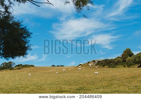 Cows grazing on grassy field on a bright sunny day. Normandy France. Cattle breeding and industrial agriculture concept. Summer countryside landscape and pastureland for domesticated livestock