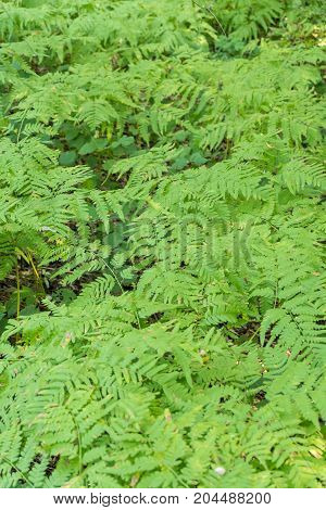 Green Leaves Of Fern In The Forest Under The Shade Of Trees.