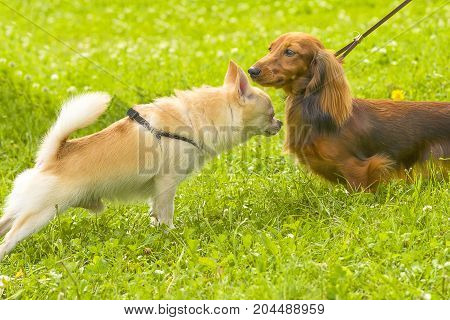 Two dogs are introduced sniffing each other. Concept: cute, home, friend, love, affection, kindness, care. Space under the text. 2018 year of the dog in the eastern calendar