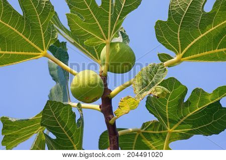 Branch of a fig tree (Ficus carica) with leaves and ripe fruits against a blue sky background