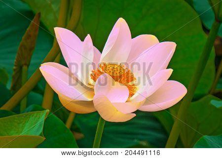 large lotus flowers. bright pink buds of lotus flower floating in the lake. close-up
