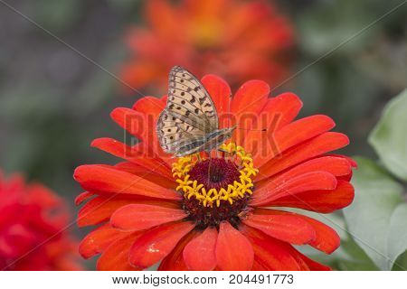 The butterfly on a flower sits and collects nectar