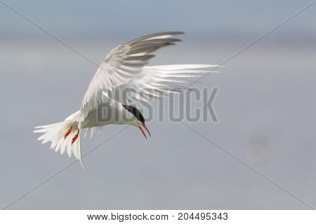 Arctic Tern ( Sterna paradisaea) returning to its young carrying a sand eel