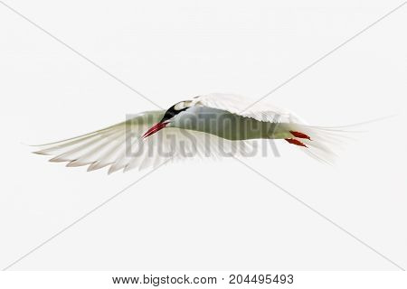 An arctic tern in flight over its nest