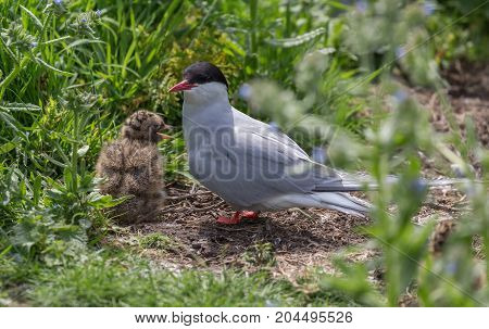 Arctic Terns (Sterna paradisaea) with young chick