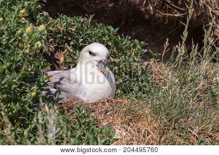 Adult Fulmar (Fulmarus glacialis) nesting in north UK