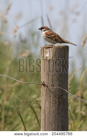 Eurasian Tree Sparrow (Passer montanus) sitting on post