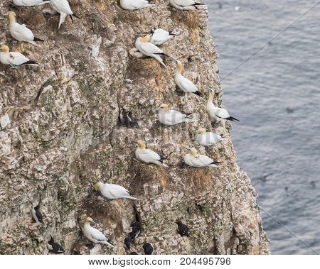 Nesting Gannets and other seabirds on a cliff in coastal Northern UK