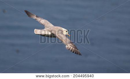 Adult Fulmar (Fulmarus glacialis) flying over sea in north UK