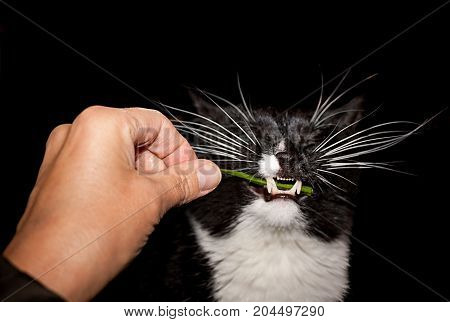 A human hand is holding grass blade and black and white cat is eating her with enjoy on black background.