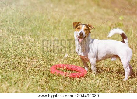 Portrait of a small dog Jack Russell Terrier standing on green lawn outdoor and looking in camera with curiosity at summer day. Copy-space