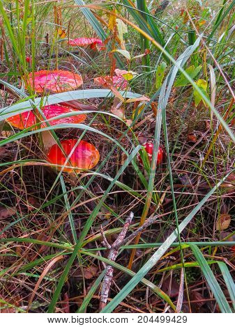 Beautiful red fly agarics in a clearing in an autumn forest. Mushroom with red cap or head