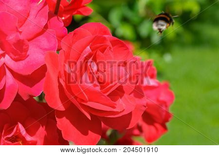 Rose flowers in the summer garden. Shallow DOF. Flower summer background with bright red rose flowers. Red rose flowers in the summer garden. Summer nature view of rose flowers. Summer flowers landscape