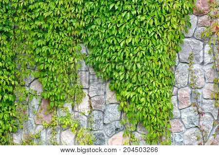 wild grape ivy on the wall of cobblestones