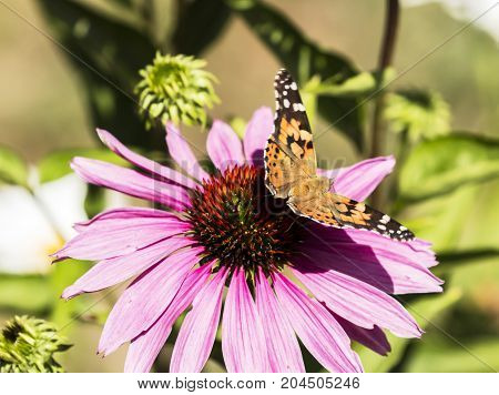 A painted lady butterfly about to take off from a purple conefower on a sunny afternoon in Maine.