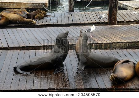 Sea Lion In San Francisco Pier, Usa
