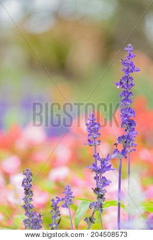 Close-up of Blue Salvia (Blue sage salvia farina-Cea) flowers blooming in the garden ornamental plants spring with soft focus colorful flower background.