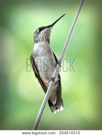 Isolated Perched Female Ruby Throated Hummingbird Profile